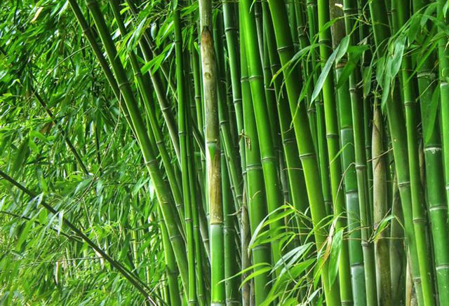 Bamboo Leaves Health Benefits and Side Effects