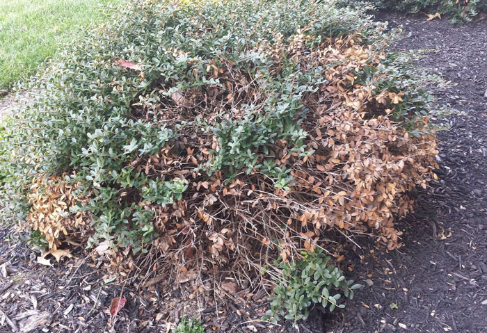 Japanese Holly Pests and Disease