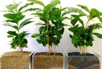 How to Grow Coffee in pot from Seeds