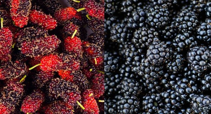 Mulberry Vs Blackberry