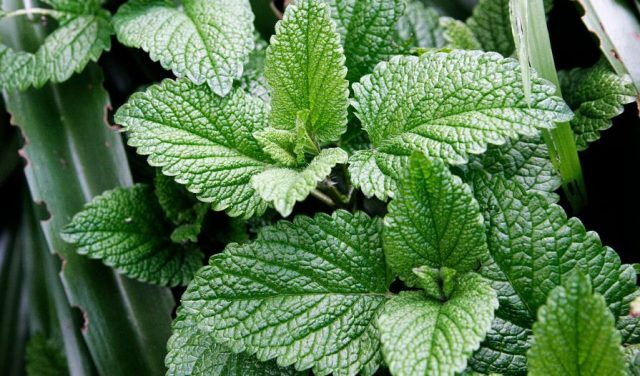How to Harvest Mint Leaves for Tea